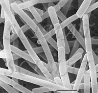 Lactobacillus delbrueckii