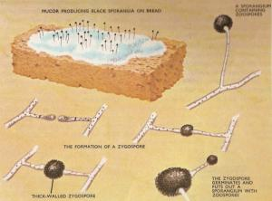 Formiranje zigospore