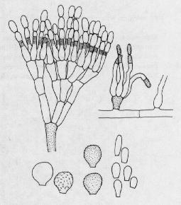 Scopulariopsis