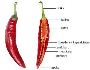Anatomija ploda začinske paprike