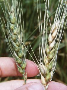 Pšenica napadnuta rodom Fusarium