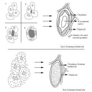 Formiranje kristala leda u tkivu biljaka