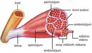 Šematski prikaz građe skeletnog mišića