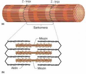 Šematski prikaz građe miofibrila (a) i debelih i tankih miofilamenata (b)