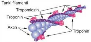 Šematski prikaz građe tankog filamenta