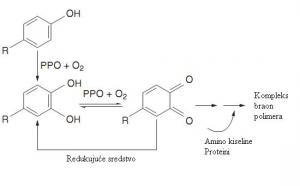 Reakcija posmeđivanja katalisana polifenoloksidazom