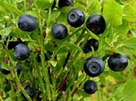 Plod borovnice