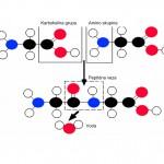 Peptidna veza je rigidna i planarna