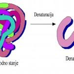 Pri denaturaciji proteina dolazi do prelaza uvijenog oblika u odvijeni oblik