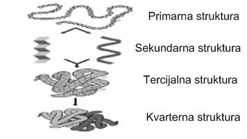 proteini-imaju-4-strukturna-nivoa-koji-odreduju-izgled-proteina-u-prostoru