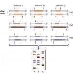 Razlike u mikrosatelitskim sekvencama