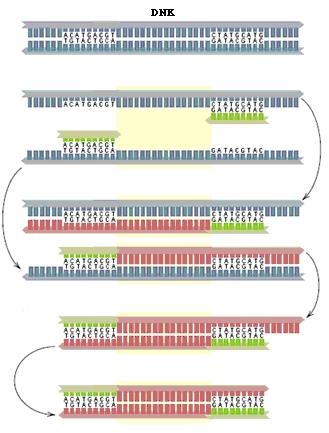 Šema PCR reakcije