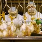 Noge živine moraju biti pravilno postavljene u usecima lira konvejera klanja