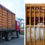 Transport živine do klanice u plastičnim kavezima