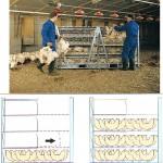 Utovar tovnih pilica na farmi u velike metalne kaveze kontejnere