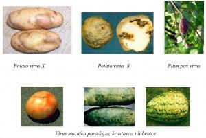 Biljke inficirane virusima