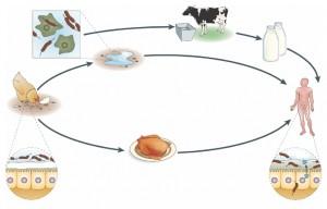 Putevi kontaminacije životinja, animalnih proizvoda i ljudi patogenim bakterijama