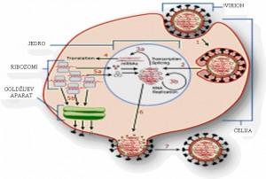Razmnožavanje virusa