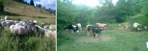 Ispaša ovaca i karakteristični tipovi krava