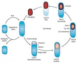 Ciklus Bacillus subtilis