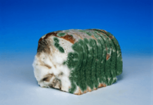 Kvar hleba usled rasta Aspergillus flavus