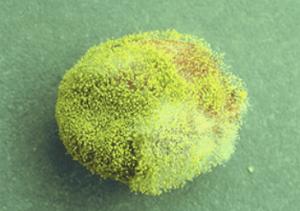 Rast Aspergillus flavus