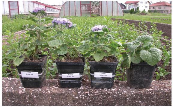 Ageratum čije je sjeme tretirano 0,1%, 0,05% i 0,08% kolhicinom jedan dan i kontrolna biljka